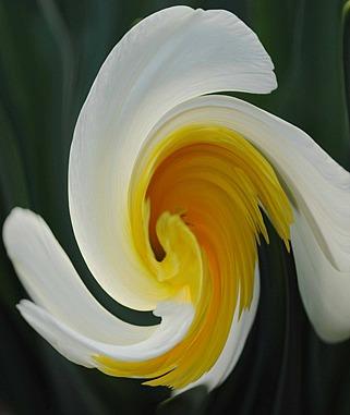 Swirly daff1